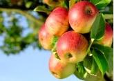 Очищающий разгрузочный день на яблоках